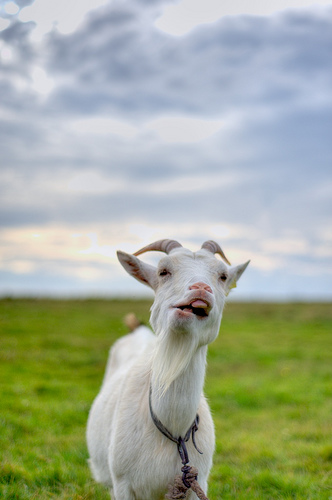 R Goats Billy goats are hilarious